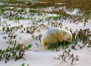 Albino Wombat Daley River